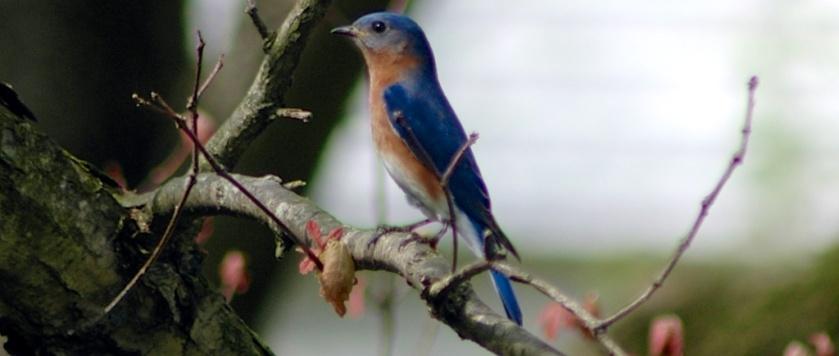 eastern-bluebird-in-white-oak1.jpg