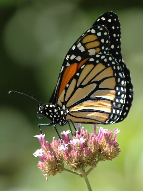 2015 Monarch Update From Cincinnati