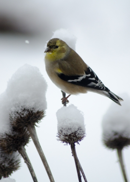 American Goldfinch on Echinacea