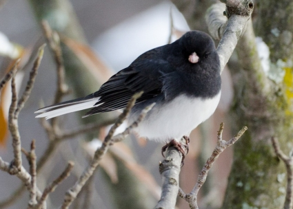 Dark-eyed Junco in Magnolia