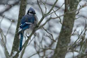 Blue Jay in Magnolia